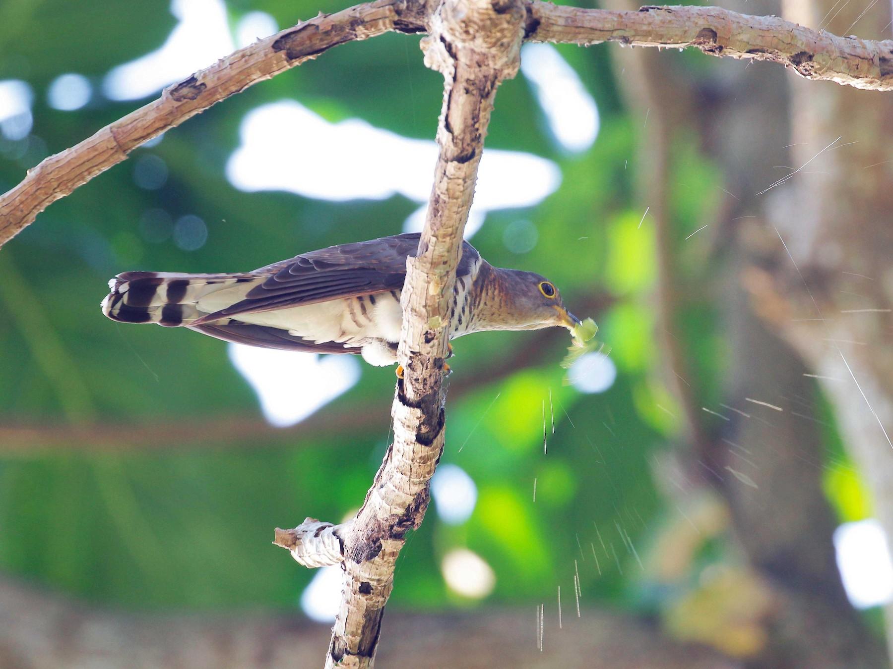 Indian Cuckoo - Neoh Hor Kee