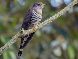 - Indian Cuckoo