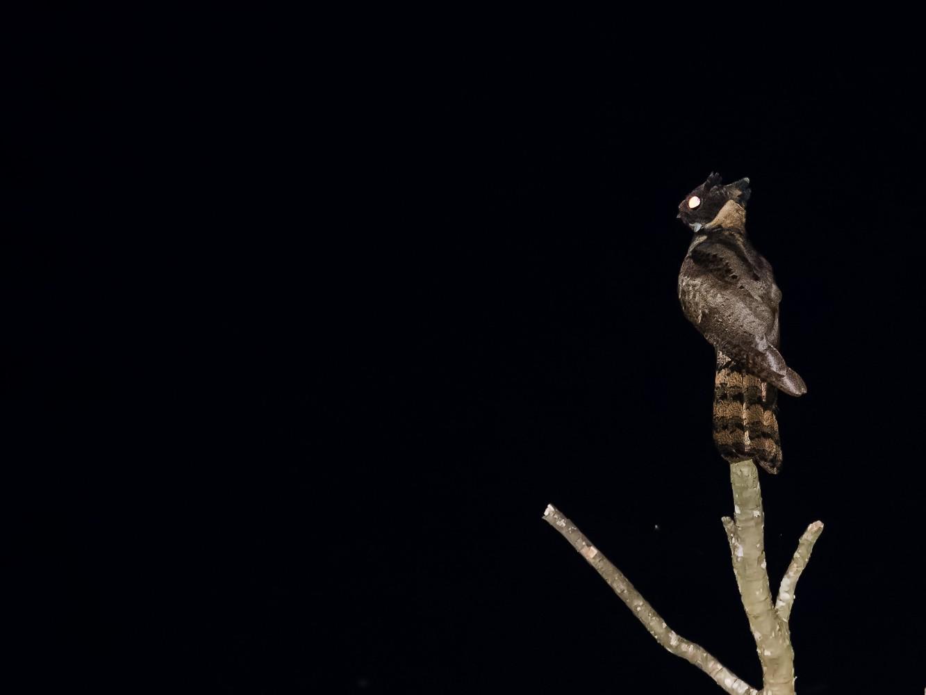 Great Eared-Nightjar - Pattaraporn Vangtal