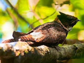 - Great Eared-Nightjar