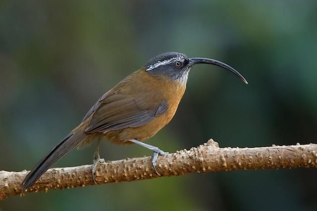 Slender-billed Scimitar-Babbler