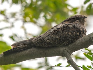 - Jungle Nightjar