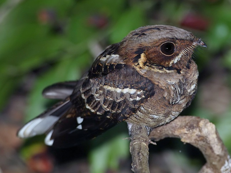 Jerdon's Nightjar - Lasse Olsson