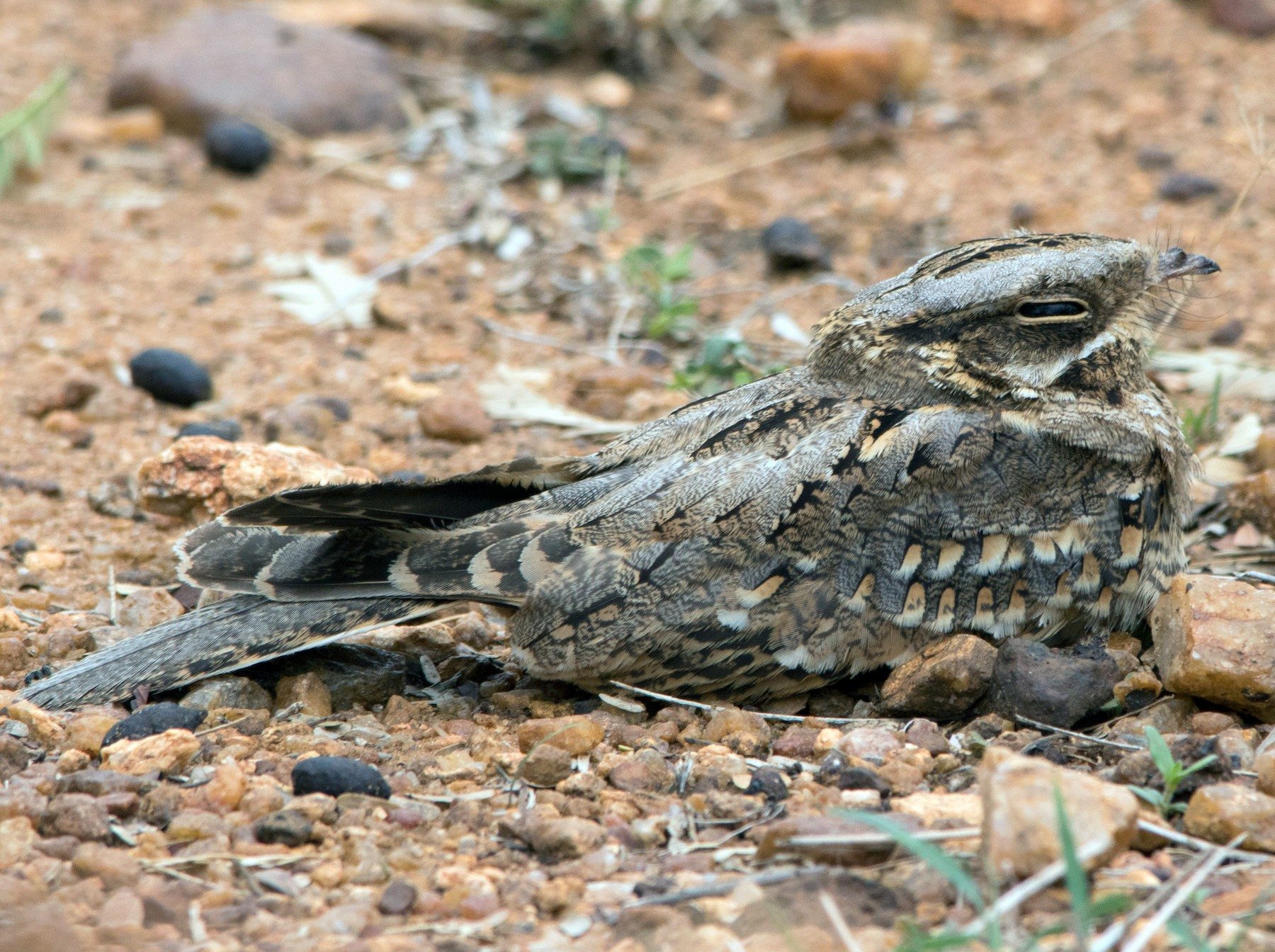 Indian Nightjar - dhanapal kondasamy