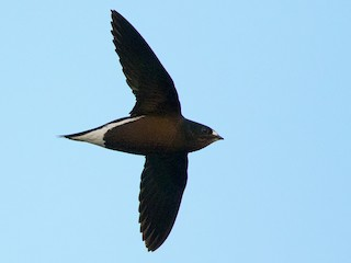 - Brown-backed Needletail