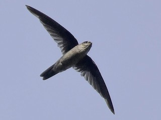- Indian Swiftlet