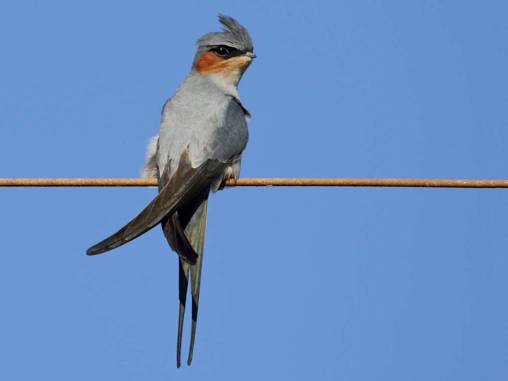 Crested Treeswift - Anonymous eBirder