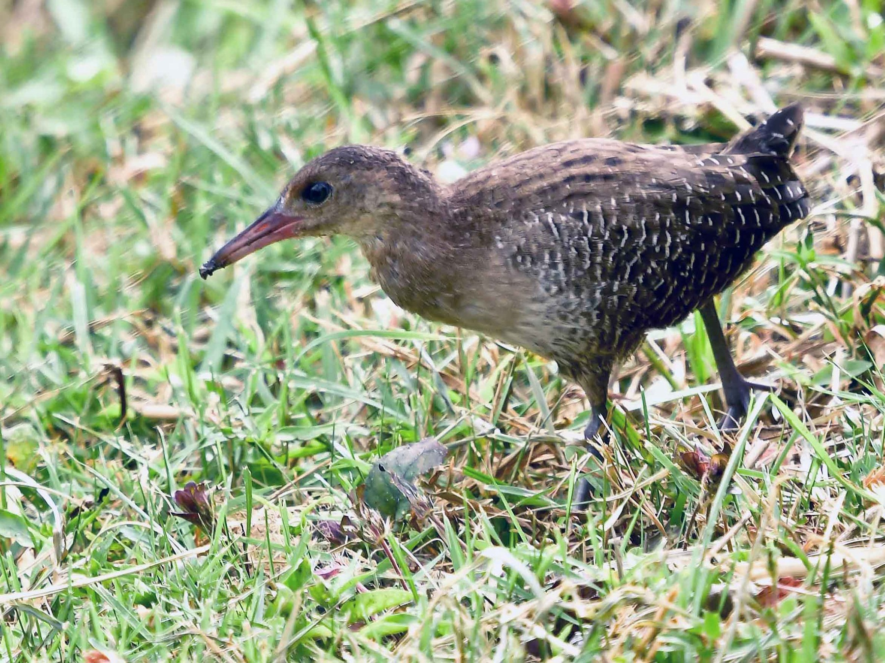 Slaty-breasted Rail - Wei Khim Ng