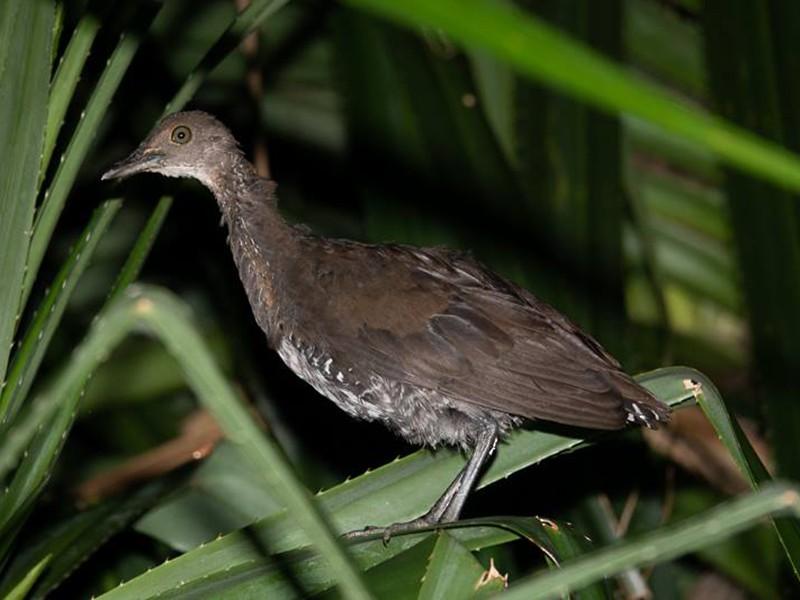 Slaty-legged Crake - Kantori Birders