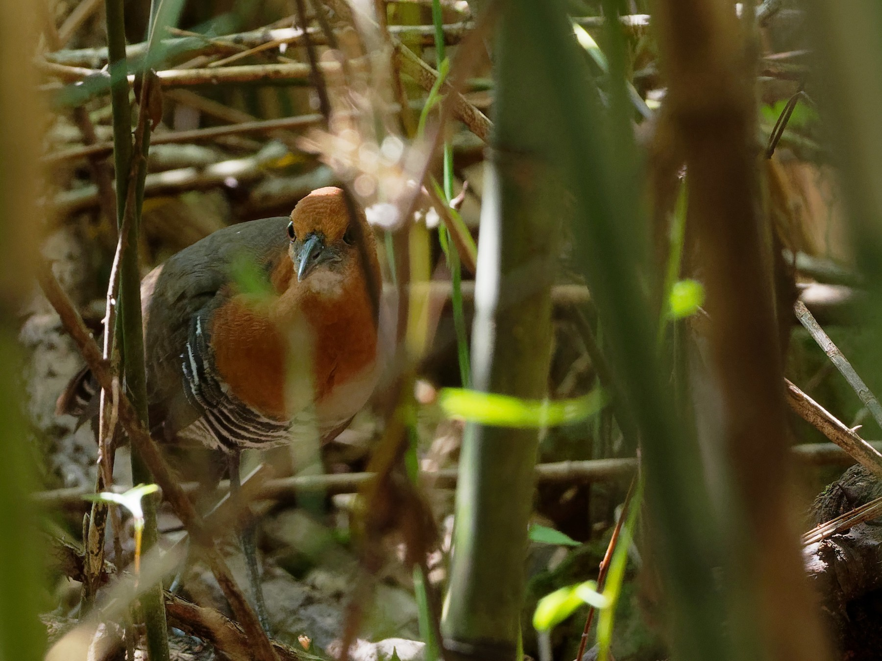 Slaty-legged Crake - Vincent Wang