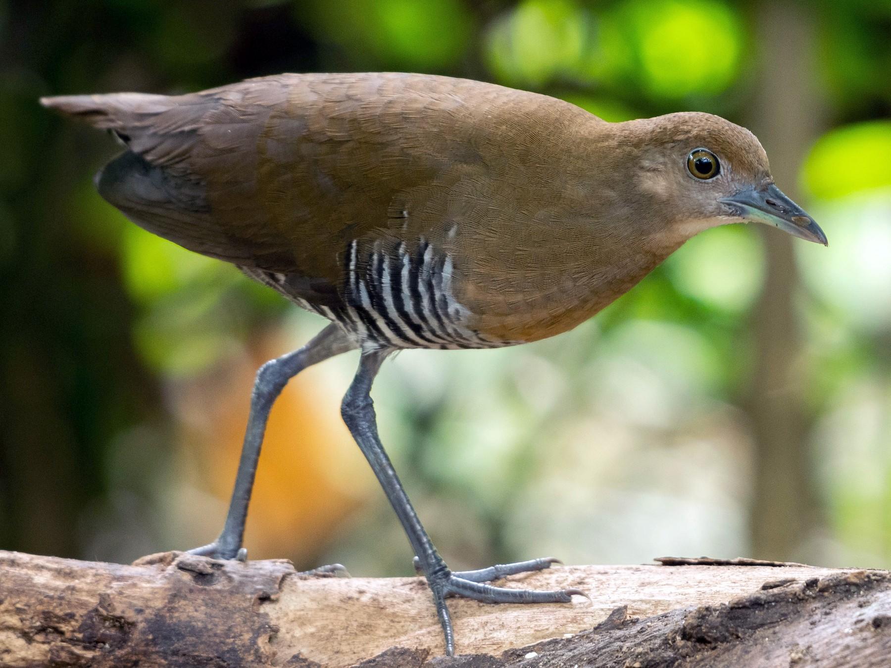 Slaty-legged Crake - Andaman Kaosung