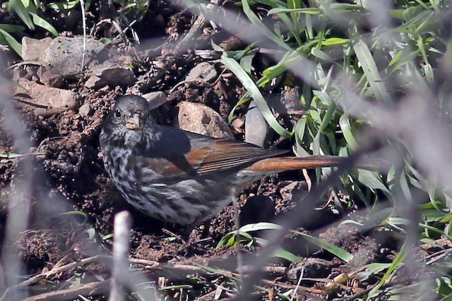 Fox Sparrow (Slate-colored)