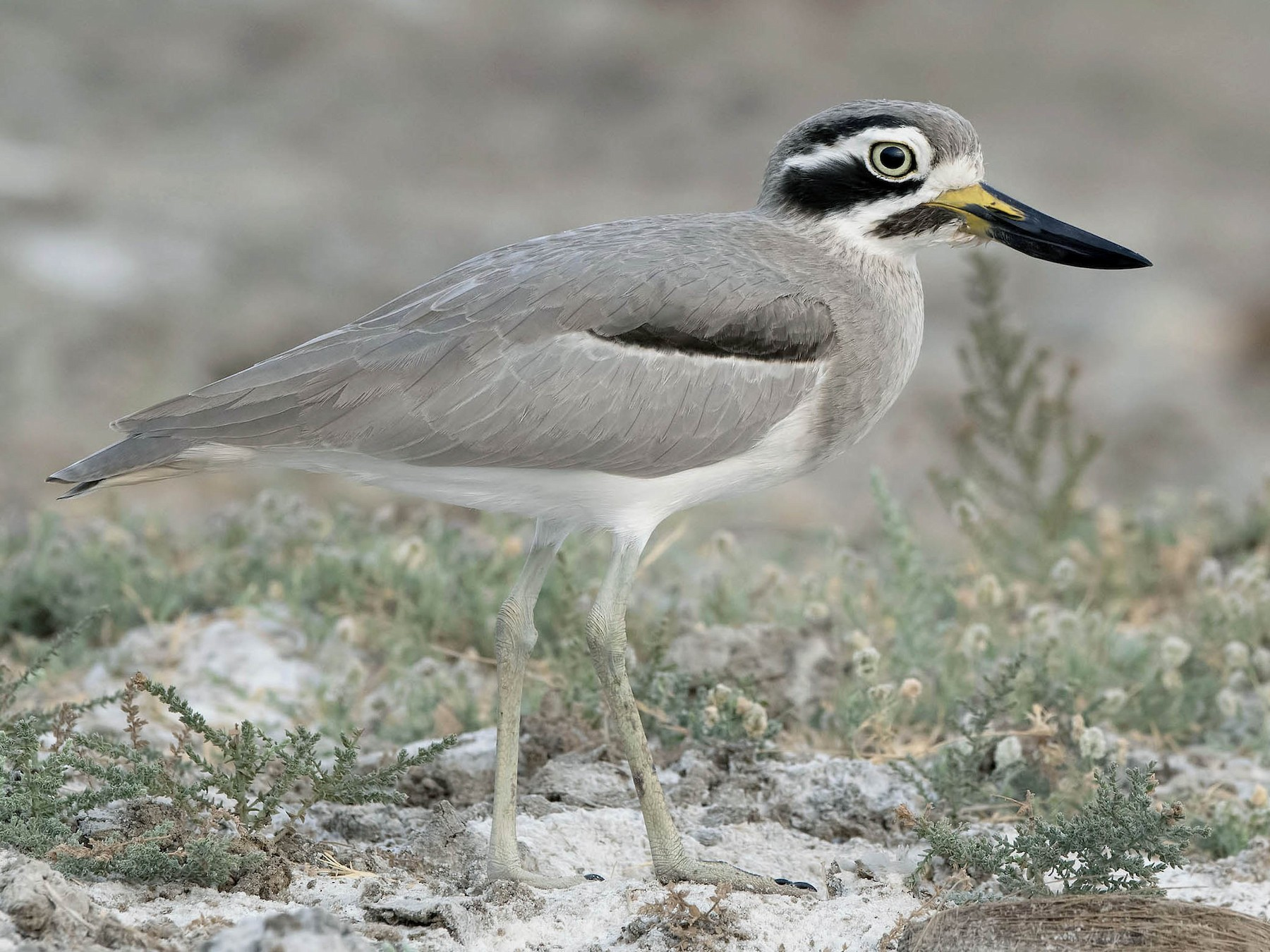 Great Thick-knee - Prabhakar Manjunath