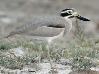 - Great Thick-knee