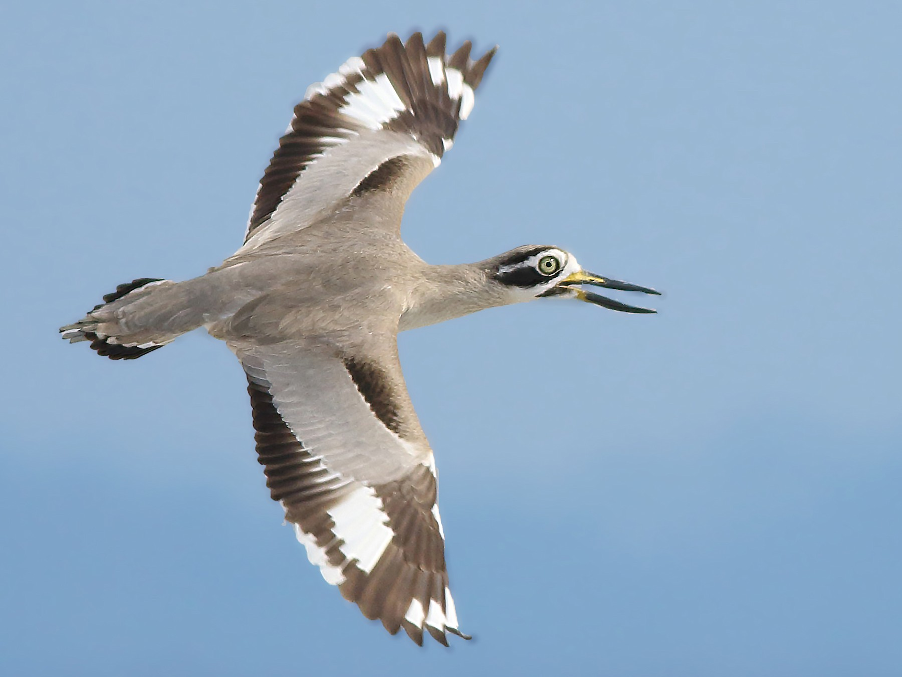 Great Thick-knee - Amitava Ganguly