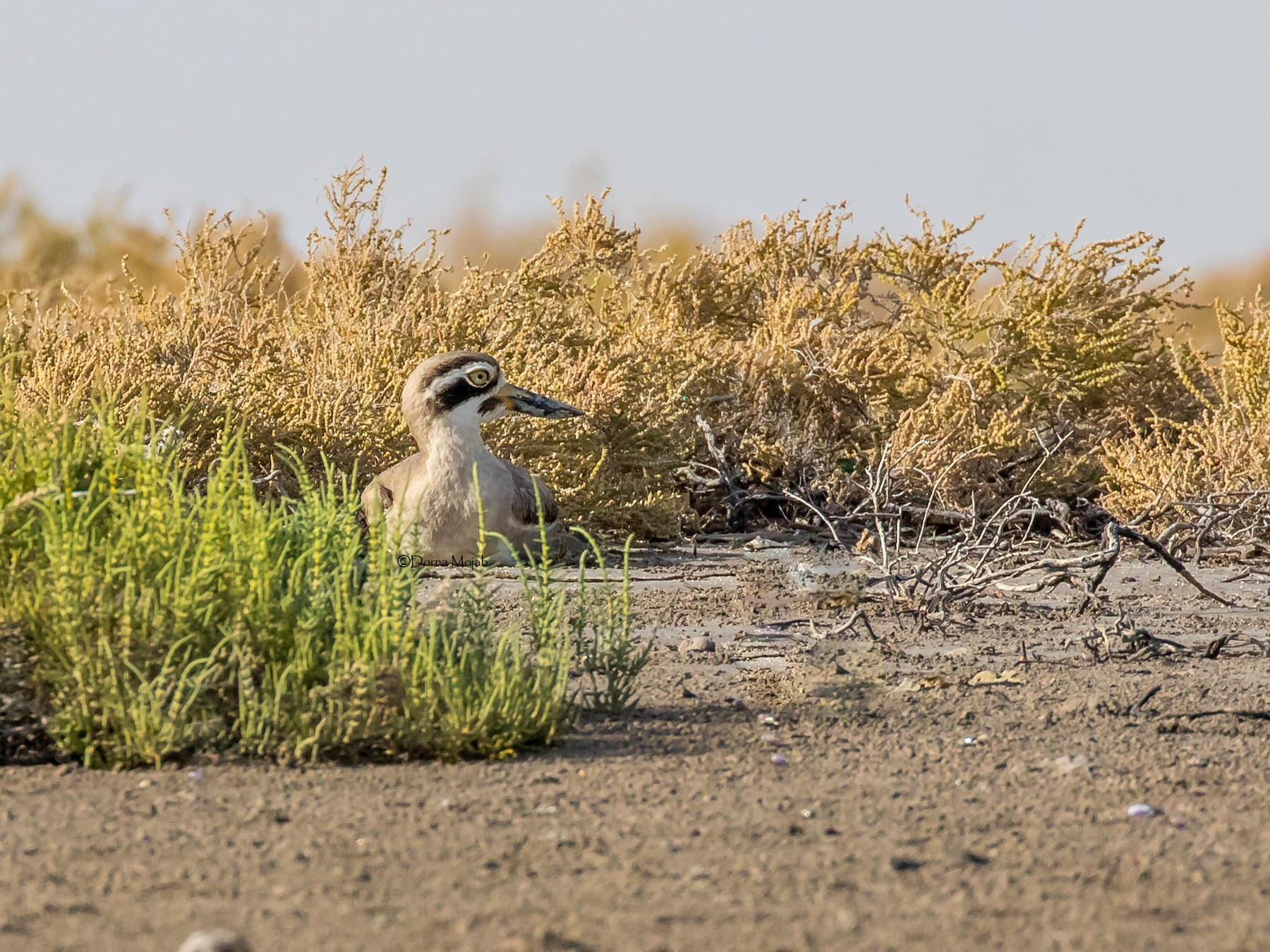 Great Thick-knee - Dorna Mojab