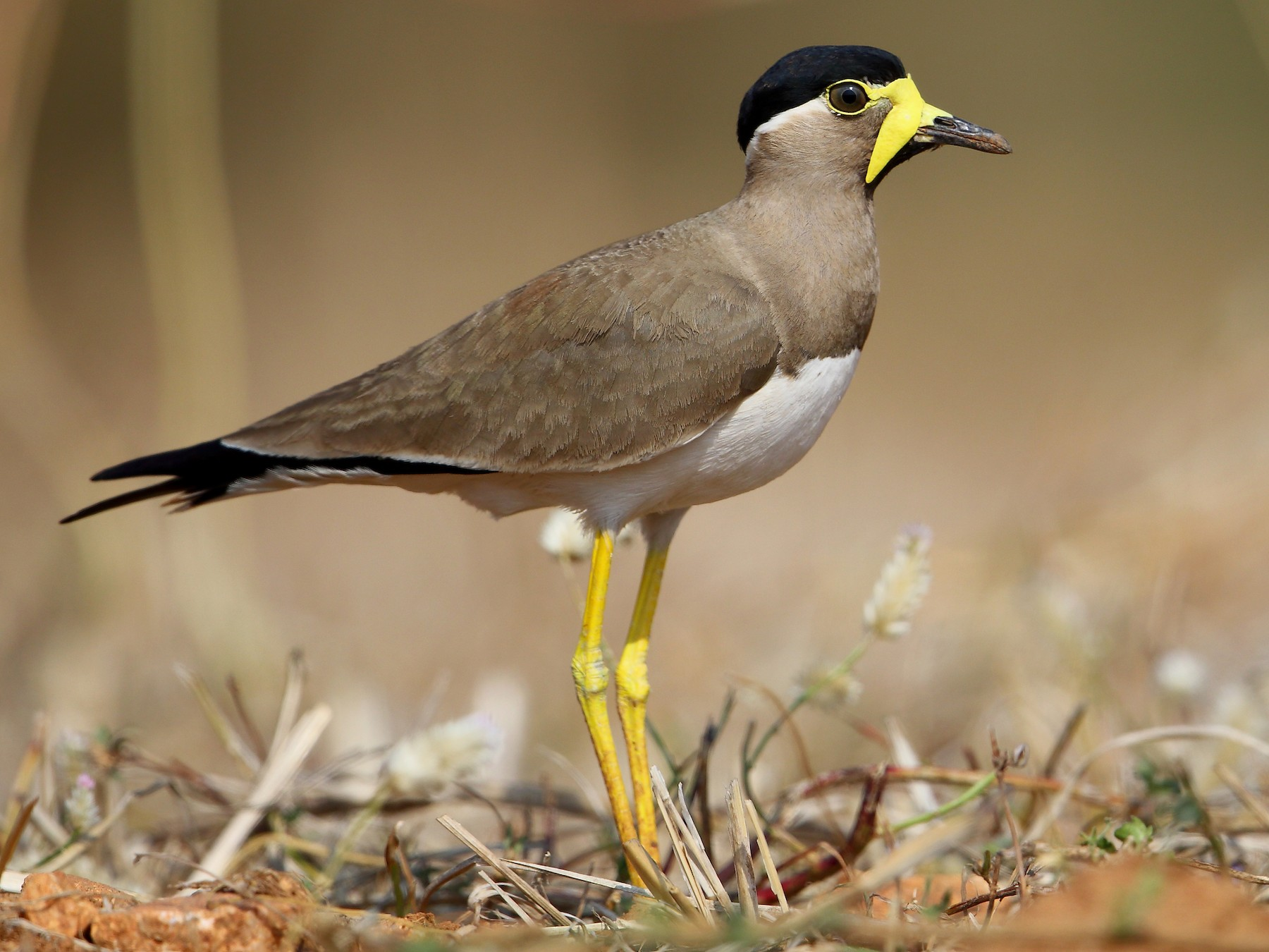 Yellow-wattled Lapwing - Albin Jacob