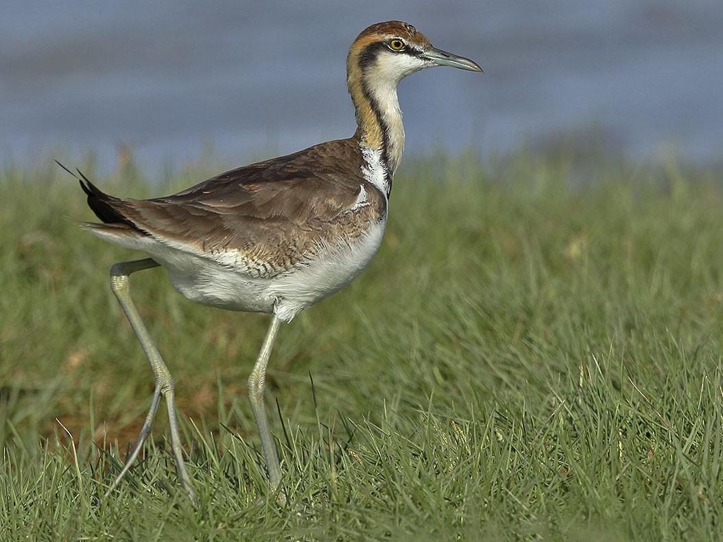 Pheasant-tailed Jacana - Jens Eriksen