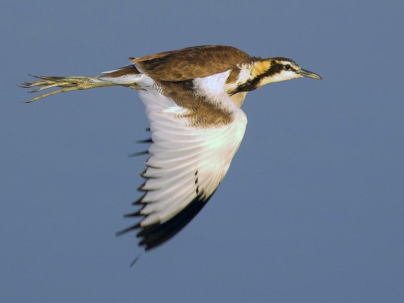 Pheasant-tailed Jacana - Shrutidev Mishra