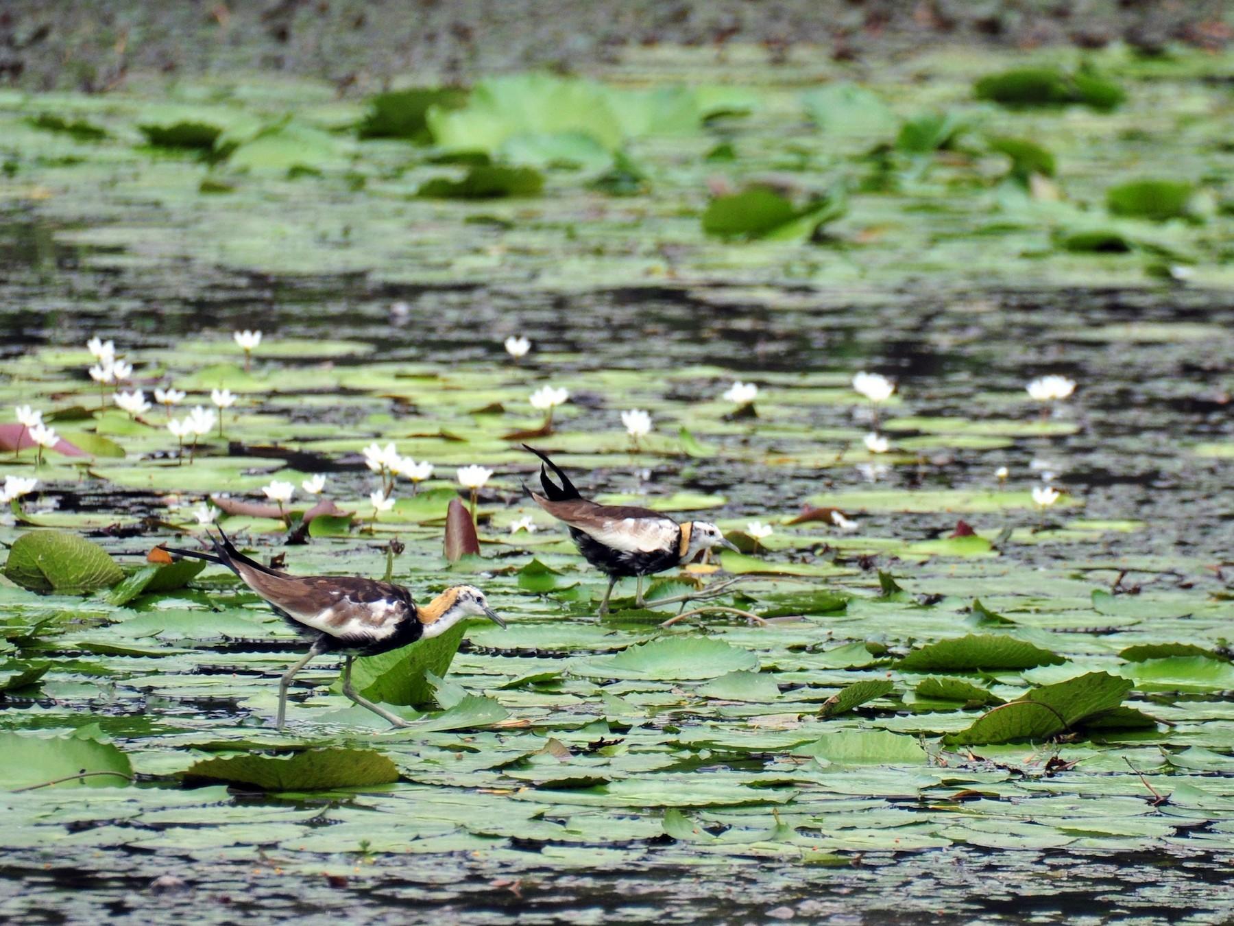 Pheasant-tailed Jacana - Kun-Hui  Lin