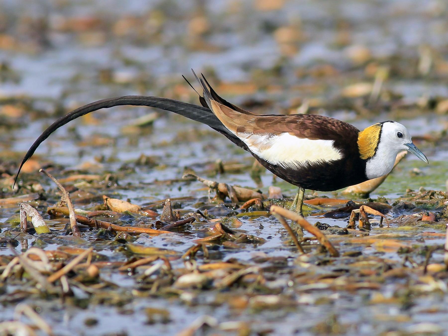 Pheasant-tailed Jacana - Stefan  Hirsch