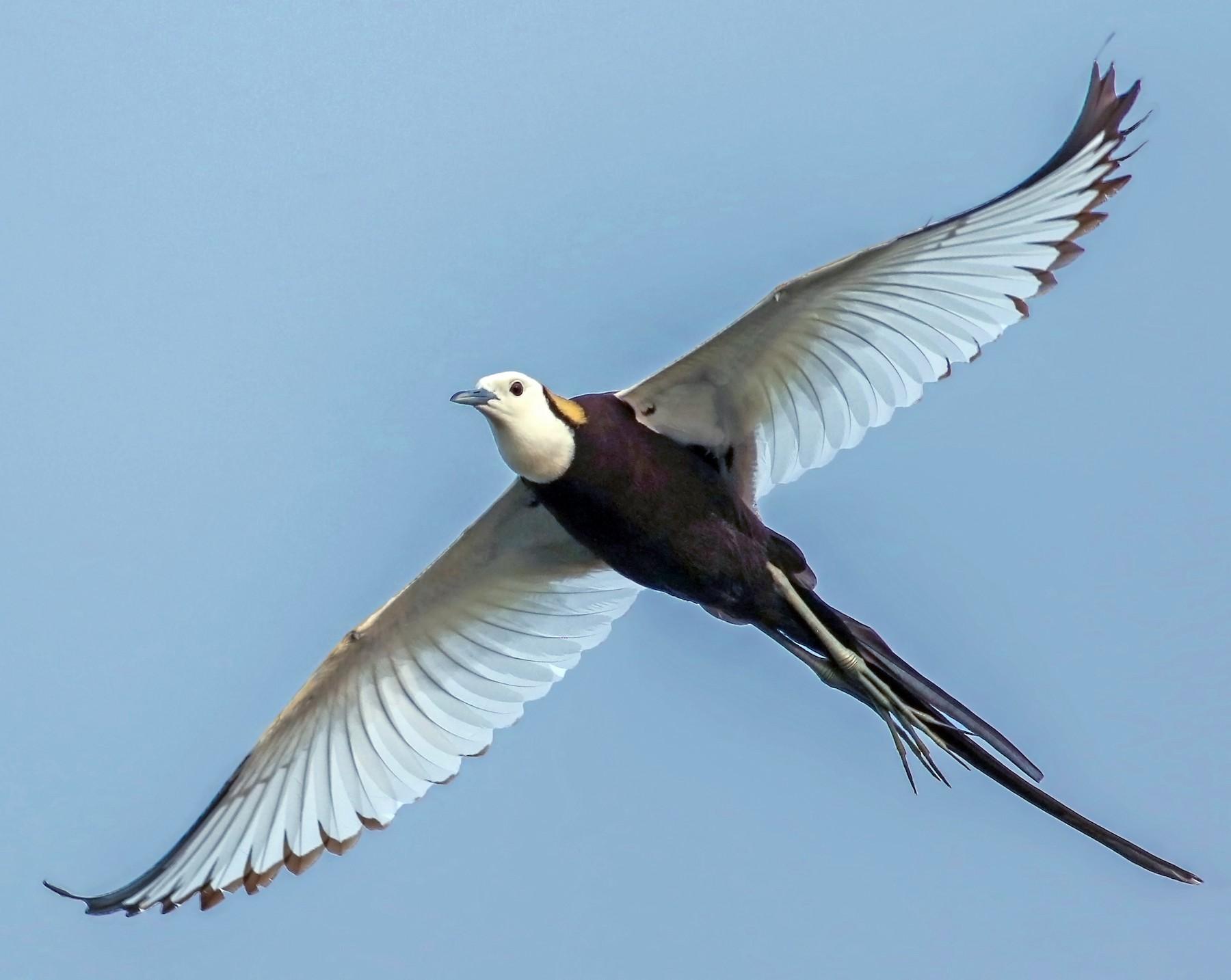Pheasant-tailed Jacana - Kavi Nanda