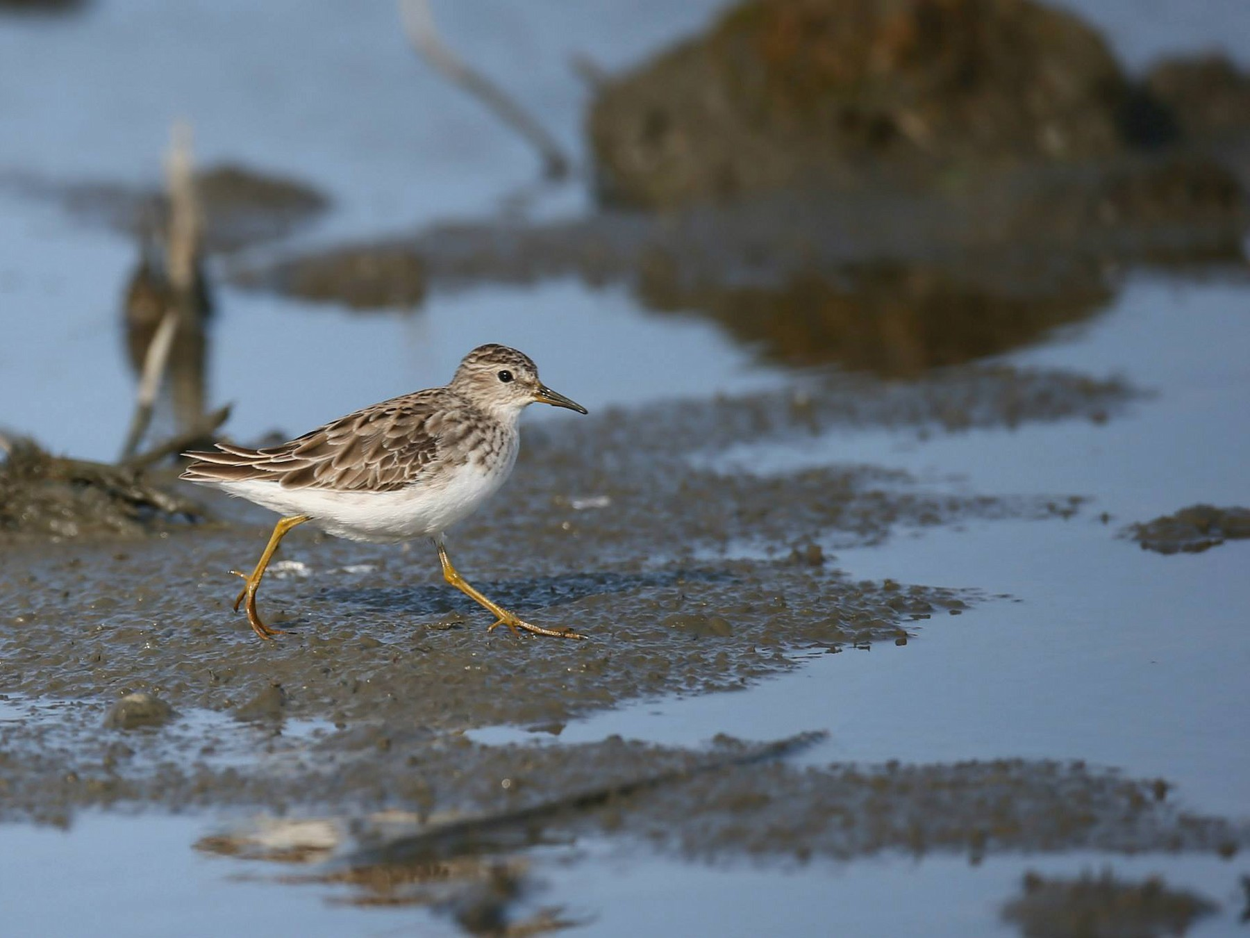 Long-toed Stint - Ting-Wei (廷維) HUNG (洪)