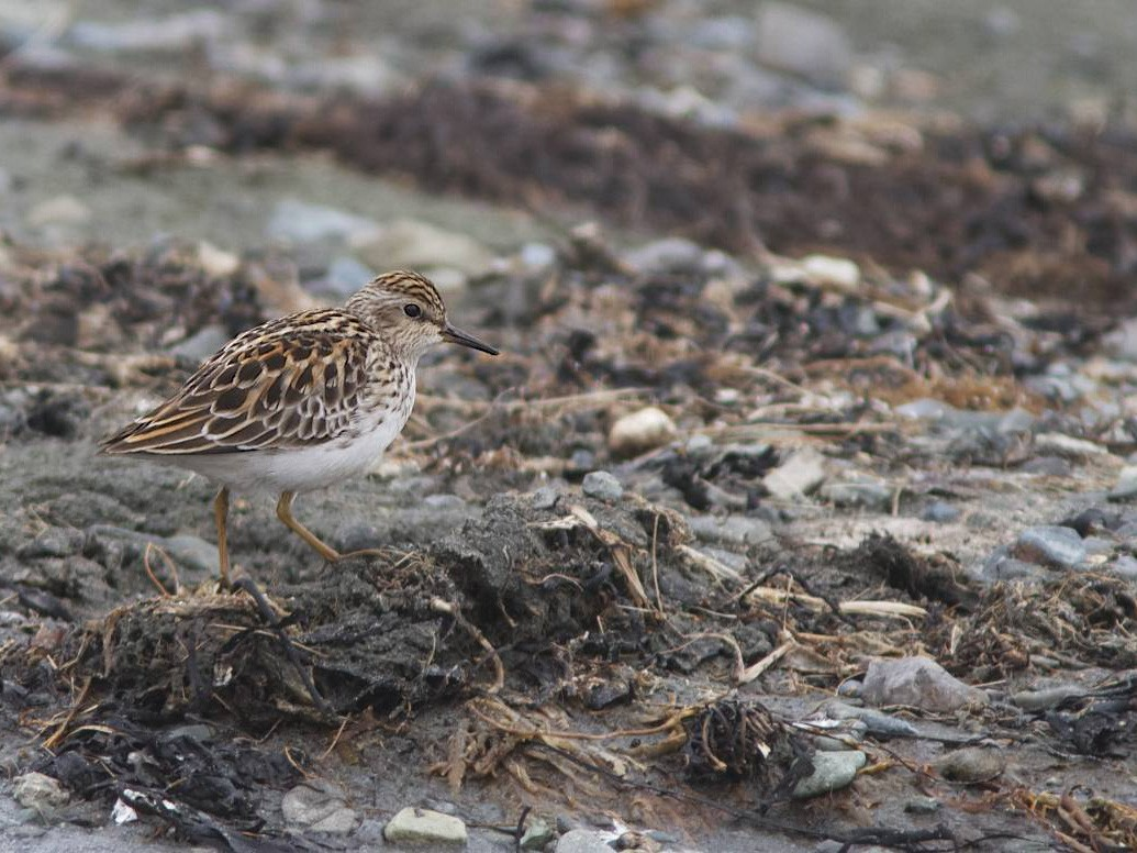 Long-toed Stint - Doug Hitchcox