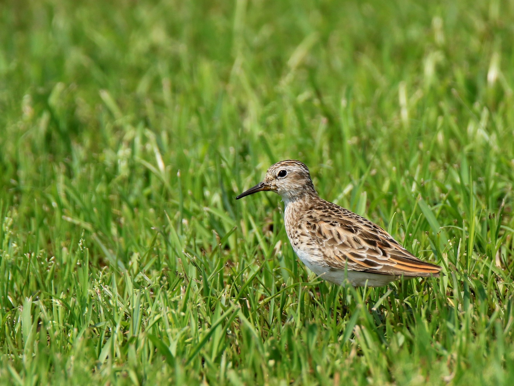 Long-toed Stint - Allen Lyu