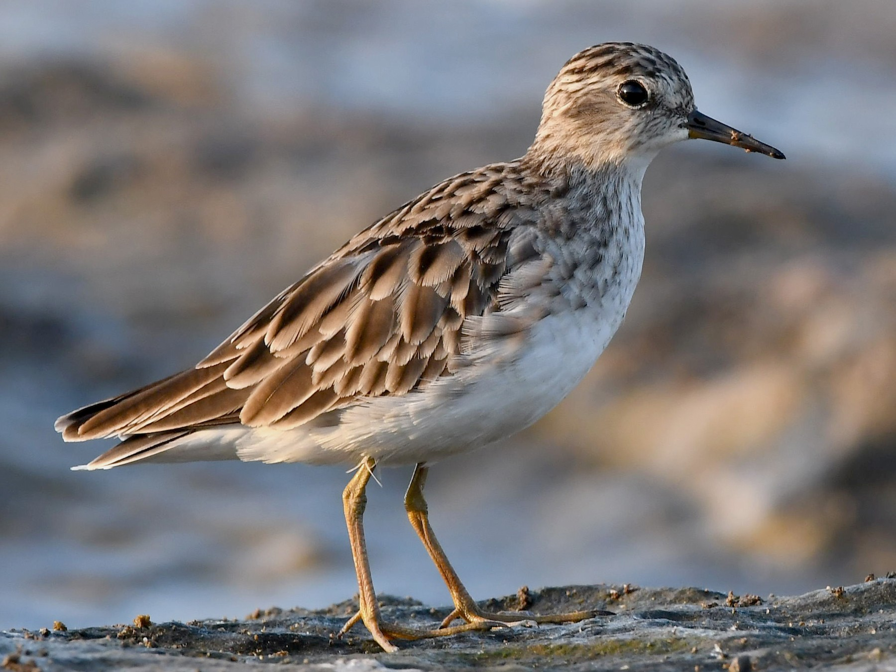 Long-toed Stint - Sriram Reddy