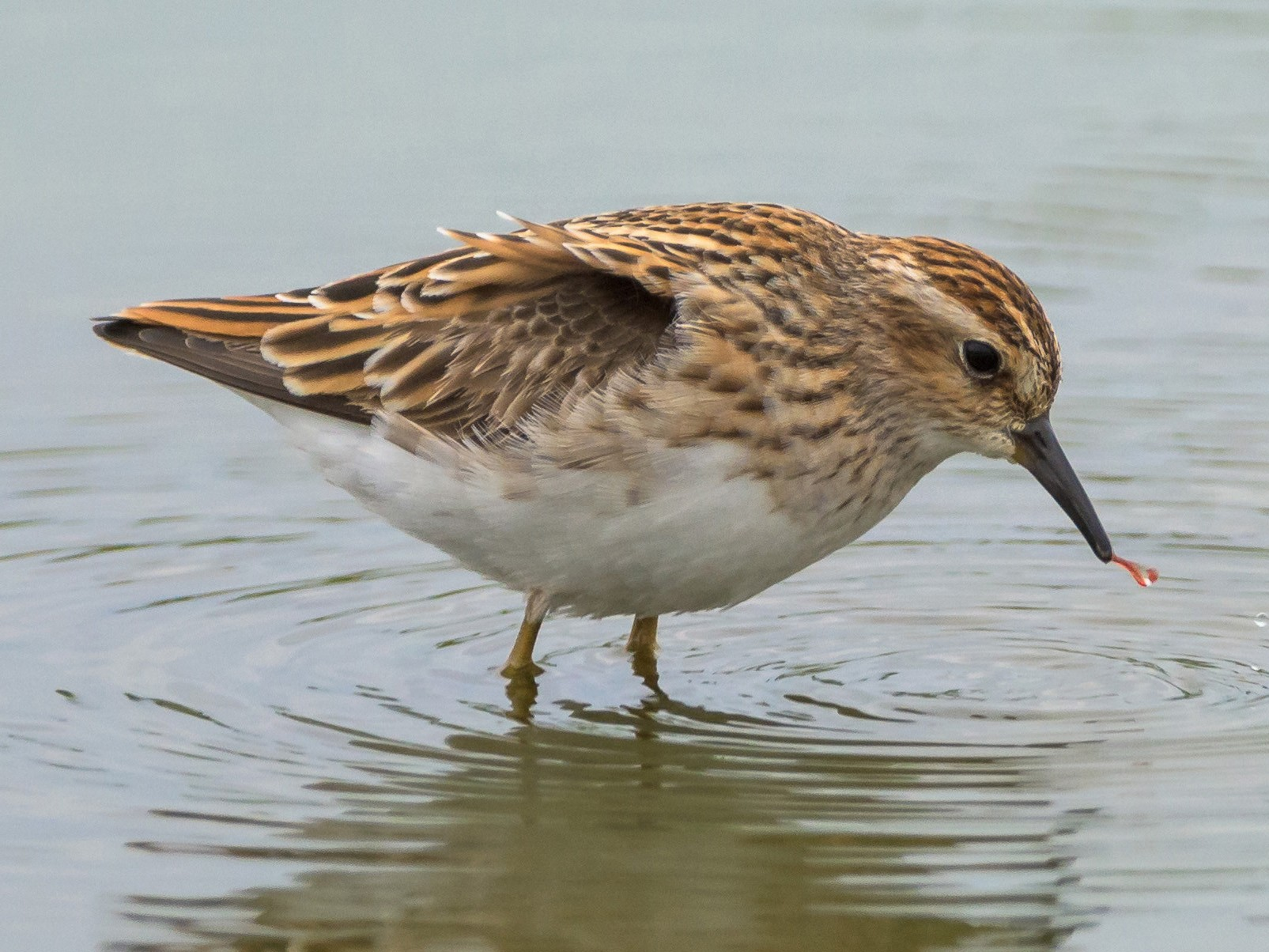Long-toed Stint - Charles Wu