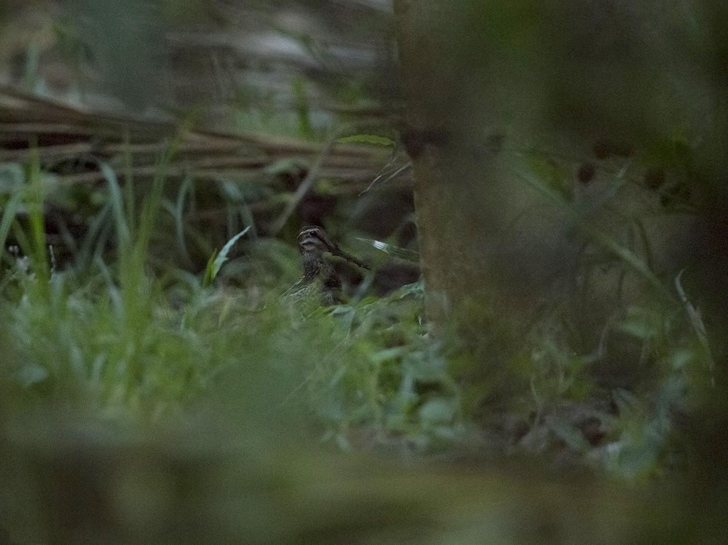 Wood Snipe - Esha Munshi