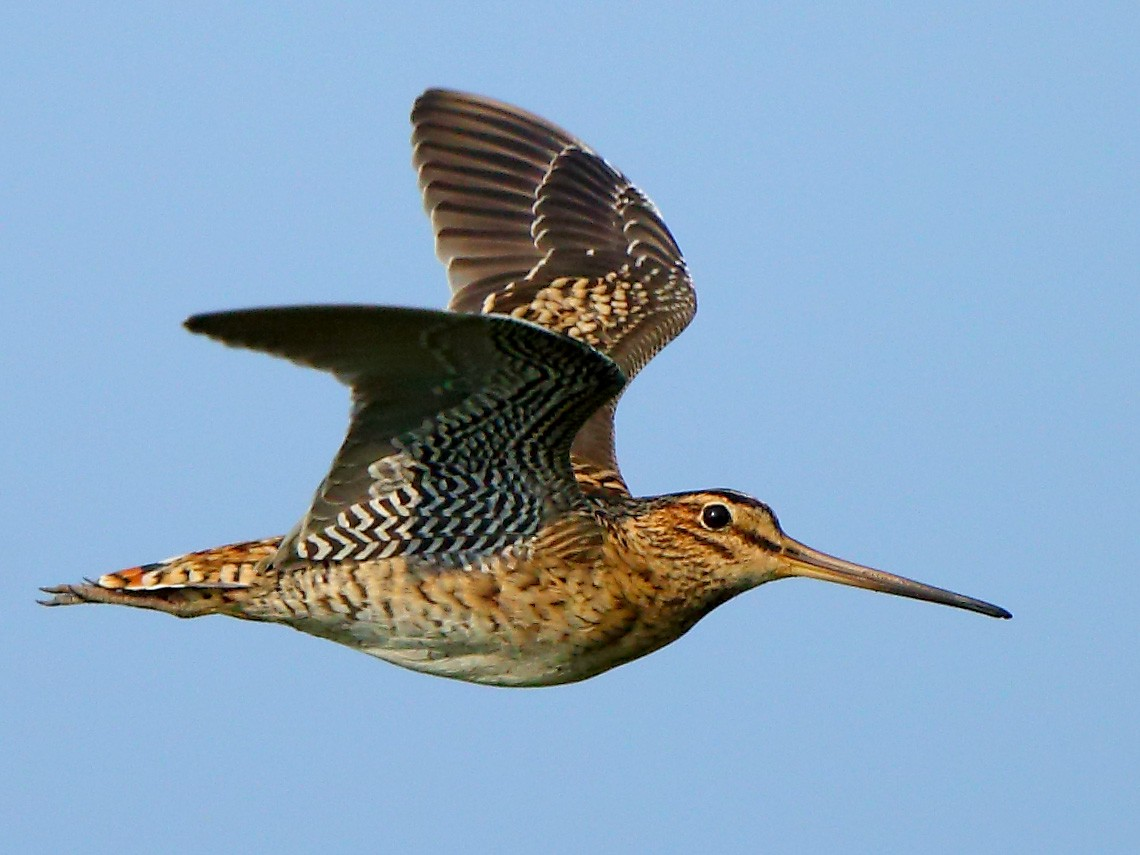 Pin-tailed Snipe - Albin Jacob