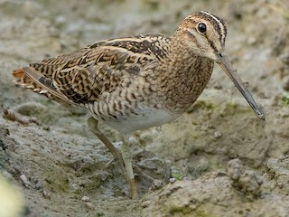 - Pin-tailed Snipe