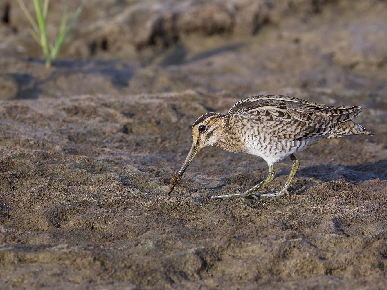 Pin-tailed Snipe - Soar Excursions