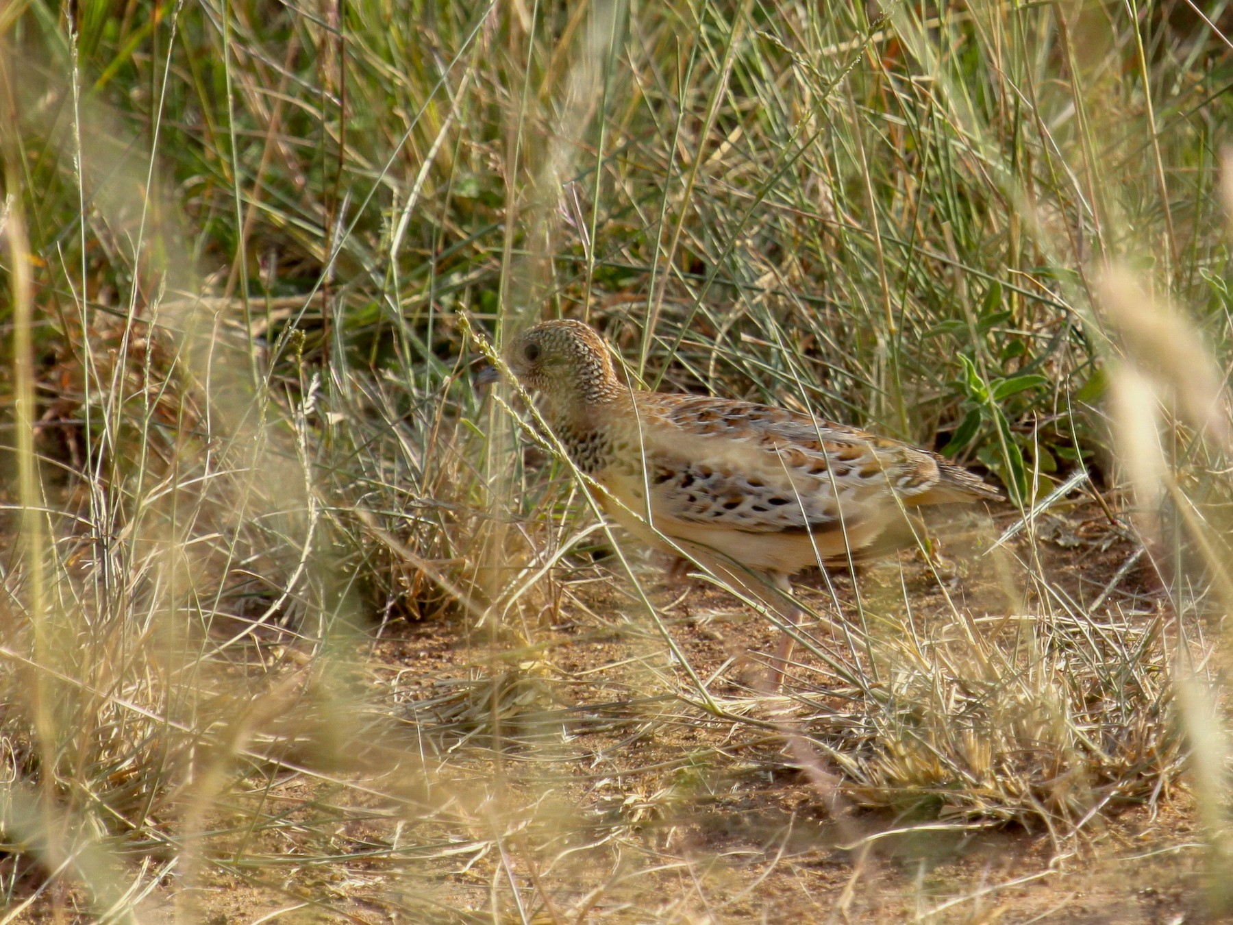 Small Buttonquail - Tommy Pedersen