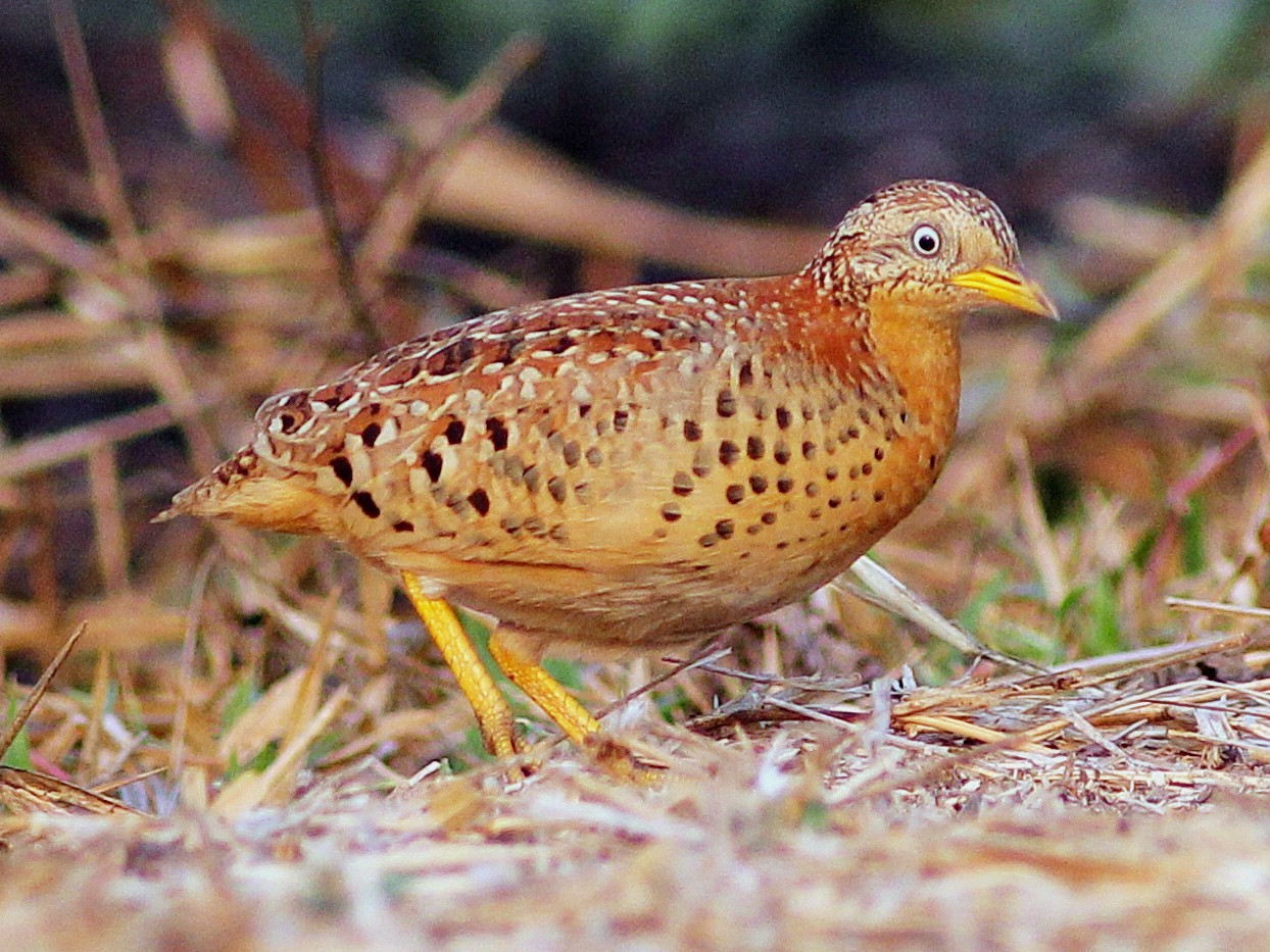 Yellow-legged Buttonquail - Krit Adirek
