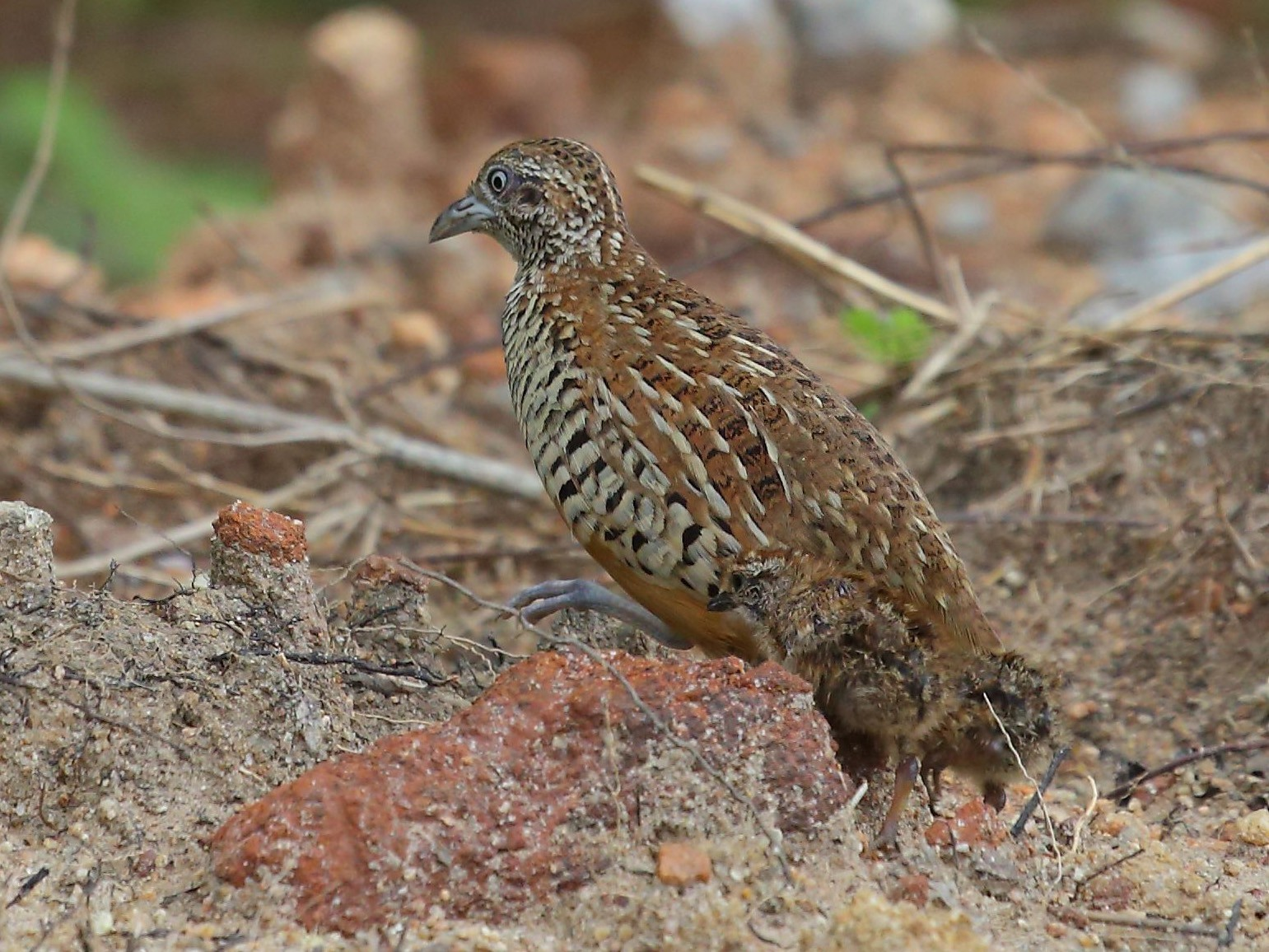 Barred Buttonquail - Albin Jacob