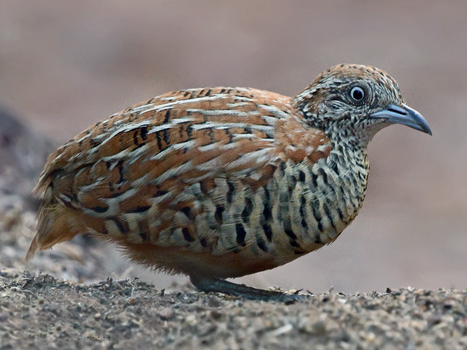 Barred Buttonquail - Pushpa C R