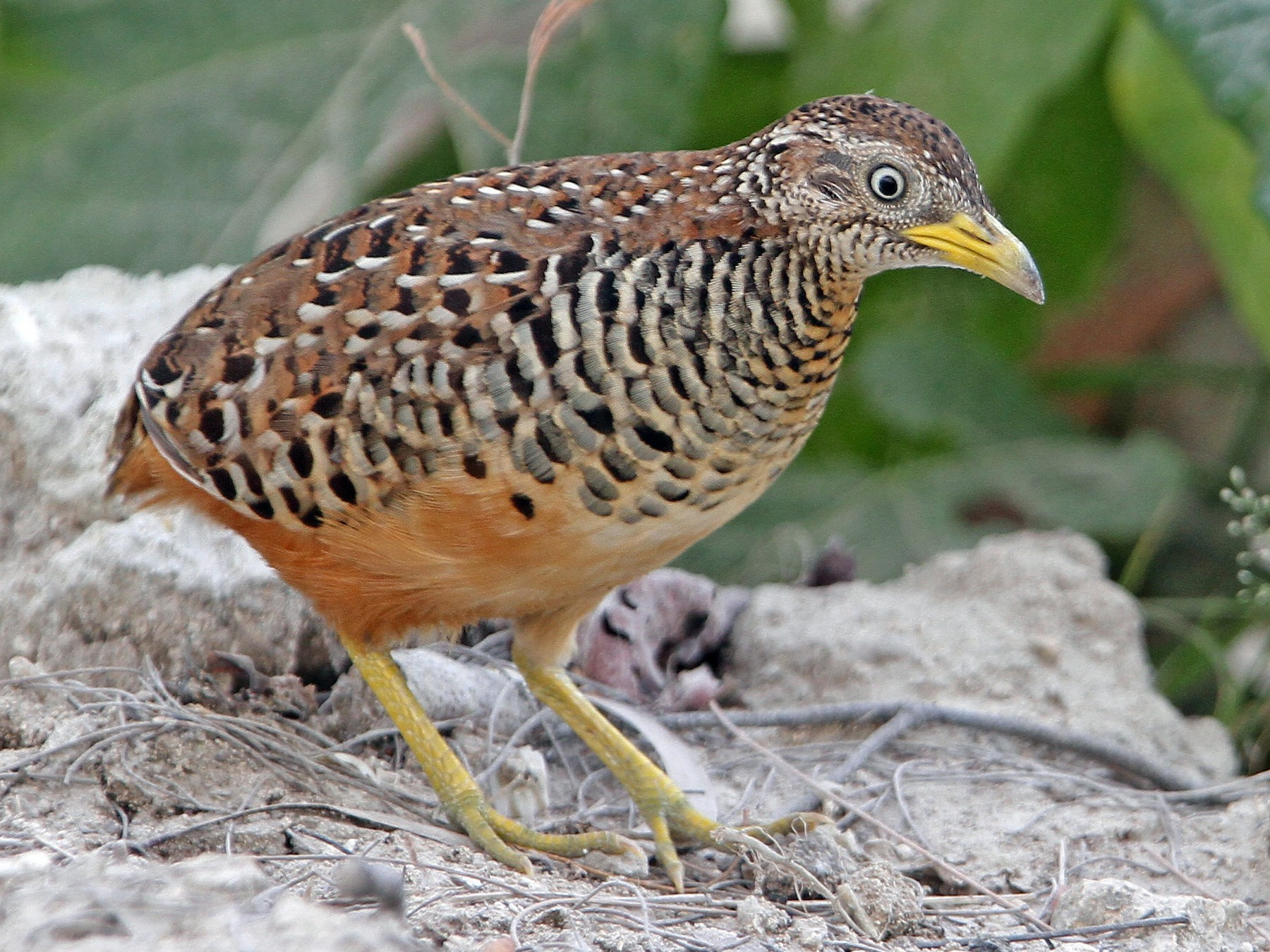 Barred Buttonquail - Christoph Moning