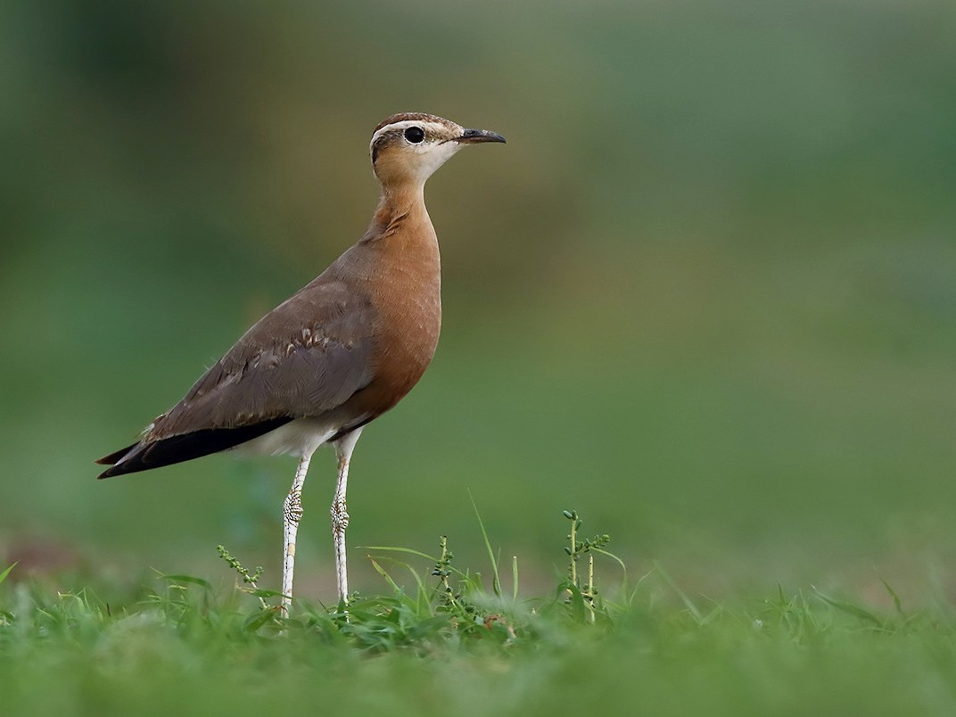 Indian Courser - Soar Excursions