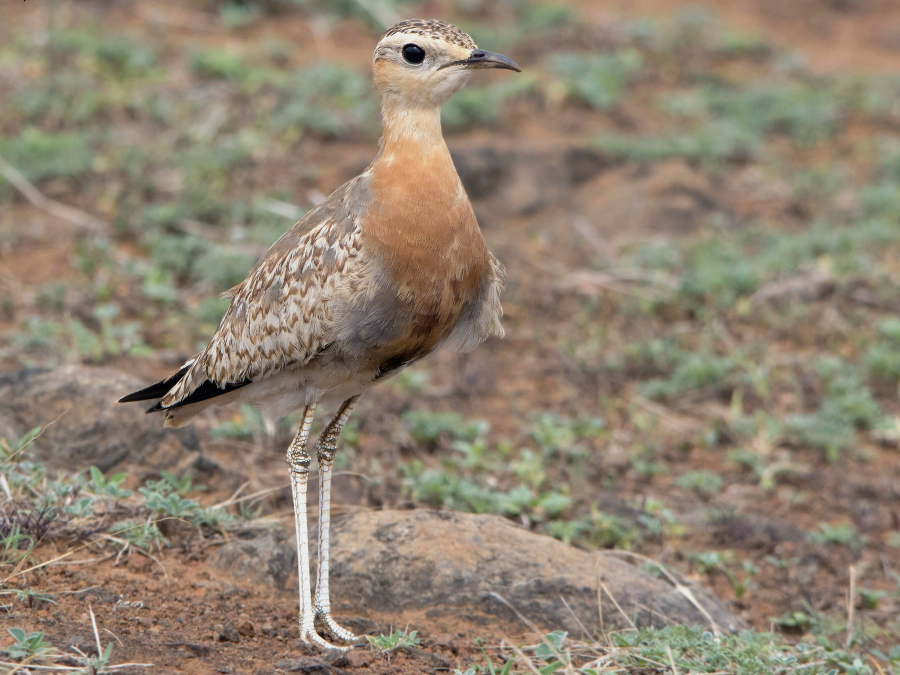 Indian Courser - Swapnil Thatte