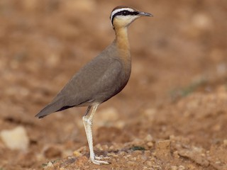 - Indian Courser