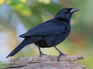 - Cuban Blackbird
