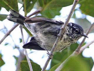 - Elfin-woods Warbler