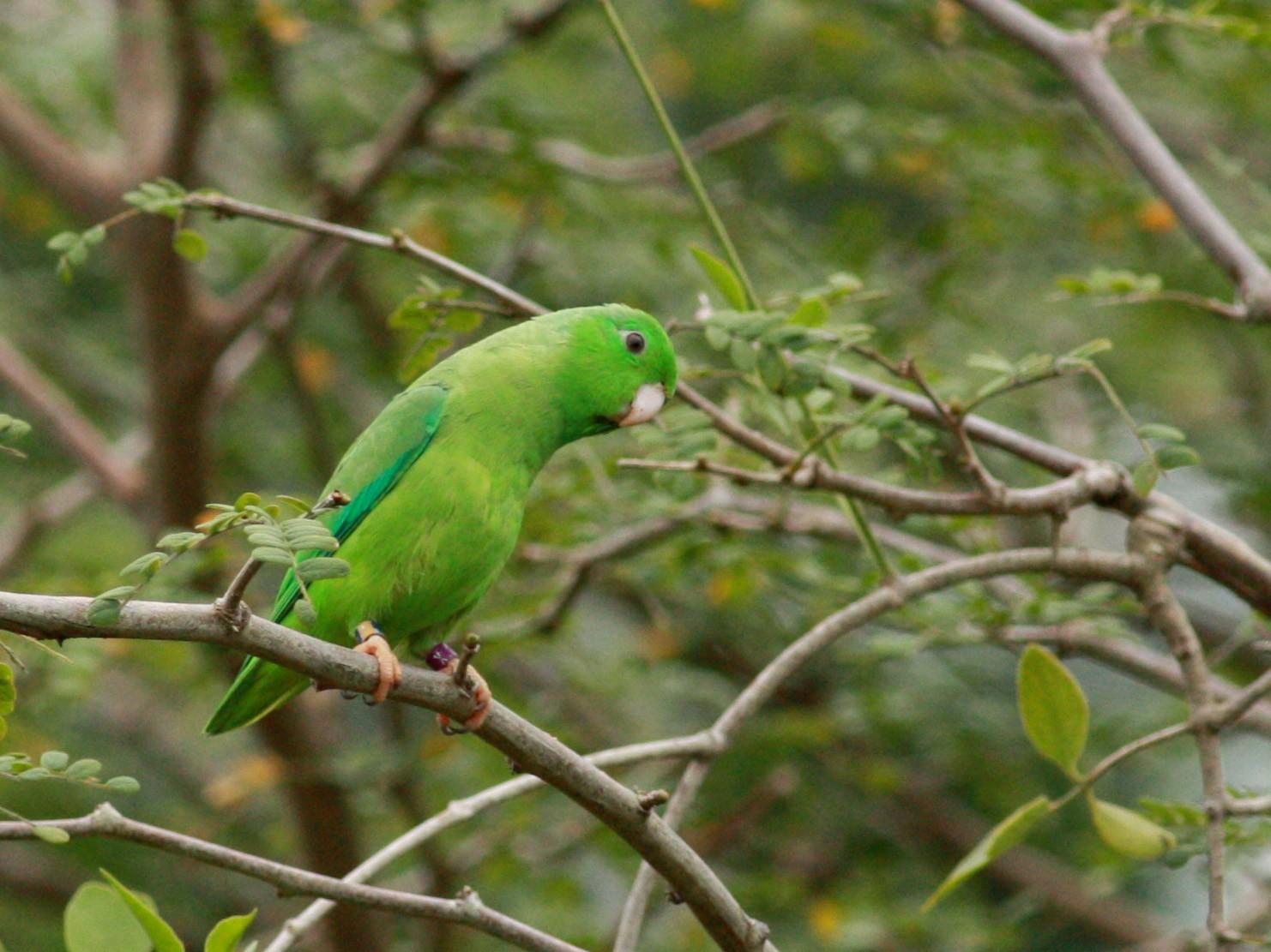 Green-rumped Parrotlet - Jay McGowan