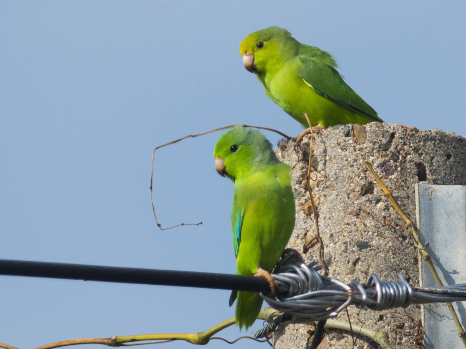 Green-rumped Parrotlet - John Cahill xikanel.com