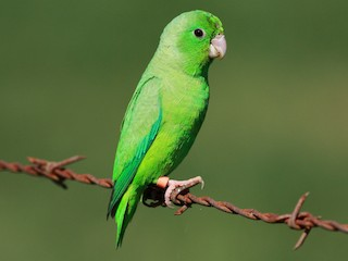 - Green-rumped Parrotlet