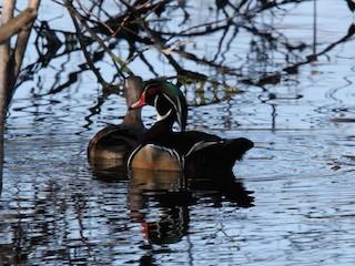 Wood Duck, ML143065261