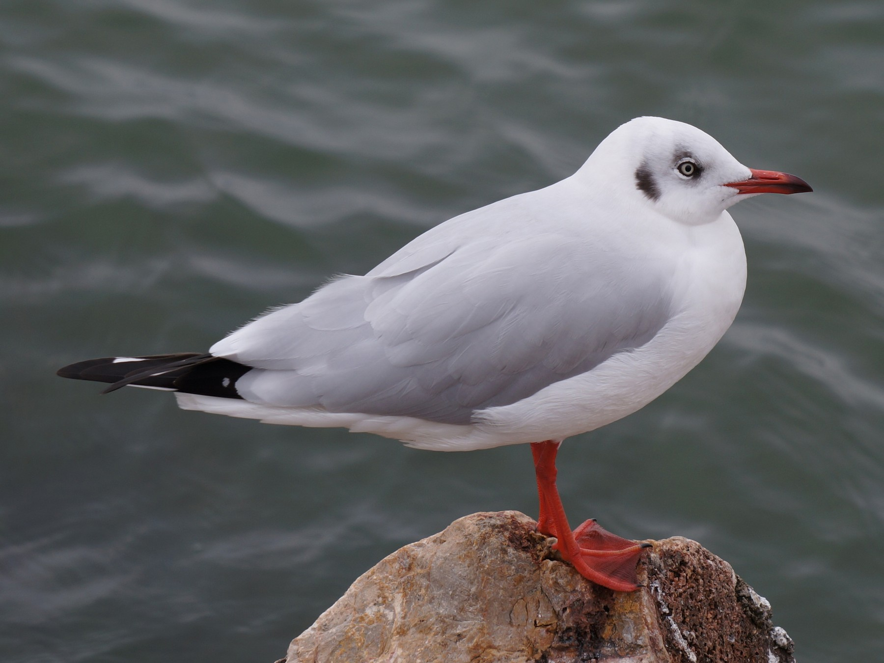 Brown-headed Gull - Henggang Cui